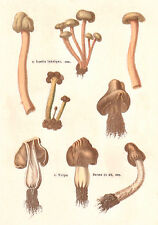 FRENCH MUSHROOMS original 1850 vintage Chromolithograph botanical print LIII