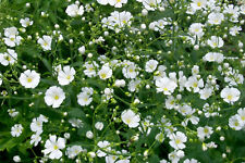 Babys Breath Seeds, Convent White, Ground Cover Seeds, Heirloom Annual, 100ct