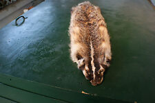 Badger pelt tanned fur hide skin No feet. nice face trapper harvested Colorado.