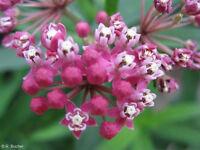 Garten Pflanzen Samen Zierpflanze Saatgut ROSA SUMPF-SEIDEN-PFLANZE
