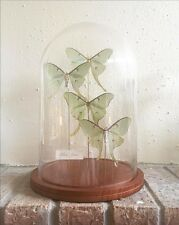 OOAK Handmade Glass Dome Display with Luna Moths Insect Taxidermy