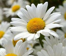 DAISY SHASTA Chrysanthemum Maximum - 5,500 Bulk Seeds