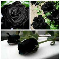100Pcs Mysterious Black Rose Flower Plant Seeds Beautiful Black Rose New