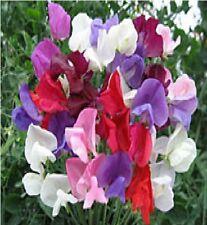 Flor - Guisante De Olor - Continental Surtido - 55 Semillas - Lote Paquete