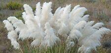 PAMPAS GRASS WHITE- 50+ RARE SEEDS (ORNAMENTAL GRASS)