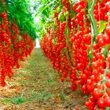 100 Pcs Seeds Bonsai Tomato Plants Potted Balcony Fruit Vegetable Home Garden D