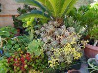 tres grand lot de BOUTURES plantes façiles a vivre+ verveine infusion