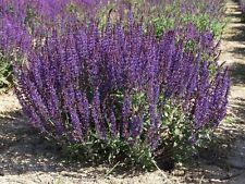 Salvia nemorosa 'Caradonna' (Perennial Solutions) 150 seeds