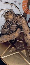 More details for mandrake | mandragora (med size) 'night crawler' whole root. alter/wicca/wiccan