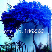 Rare Jacaranda Mimosifolia 50 Pcs Seeds Tree Bonsai Flowers Plants Garden Shrubs