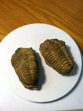 Prehistoric Flexicalymene Trilobite Upper Ordovician Pre Dinosaurs Fossils