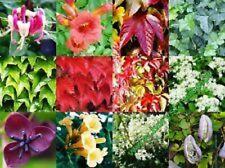 4 X CLIMBING PLANTS, MIXED LOT OF CLIMBERS IN 2 LT POTS, CLEMATIS, JASMINUM, ECT