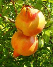 Frutti Commestibili Hardy 2x profumata SEMPREVERDE silverberry ELEAGNUS EBBINGEI arbusto X