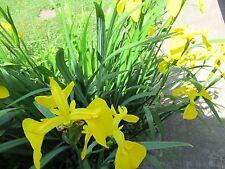 2 IRIS BULBS ,YELLOW FLAG WATER IRIS * Iris pseudacorus *  GARDEN PLANT