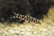 3 Yoyo Loach Loach Live Freshwater Aquarium Fish