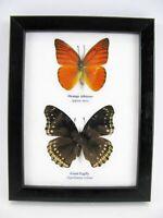 2 papillons - taxidermie, exotiques, réel - une beauté unique Naturalise   10