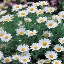 6 WHITE CHRYSANTHEMUM Paludosum Dwarf daisy-like flowers plants– seedling punnet