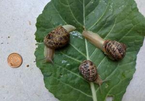 3 Live Breeding Snails - Helix Aspersa Maxima ( Gros-Gris)