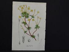 Van Houtte, Botanical, 1858 #44 Gilia Lutea