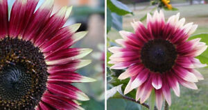 20 CHERRY ROSE Sunflower Seeds, Annual - NON GMO Fresh Seeds for Your Garden