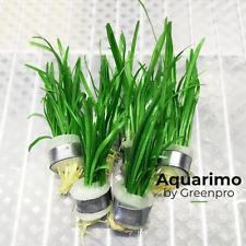 Sagittaria Pusillus 6 Bundles Tropical Freshwater Aquarium Live Plant Decoration