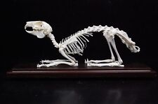 Real rabbit skeletons taxidermy specimen good quality Handmade home deco