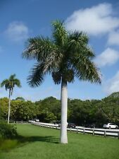 Royal Palm   Roystonea regia   Organic   500 Seeds   (Free US Shipping)