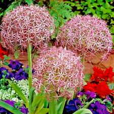 More details for 10 x allium christophii - giant perennial garden plant bulbs
