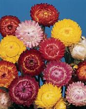 Dwarf Strawflower 'Tom Thumb' Mixed Colour Seeds Native Good Cut & Dried Flower