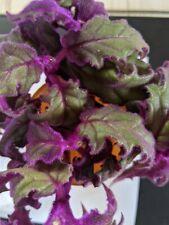 Samtnessel lila  bewurzelter Ableger  Zimmerpflanzen