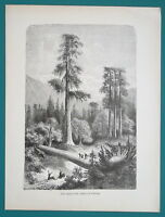 CALIFORNIA Giant Pine Trees of Sonora - 1866 Antique Print Engraving