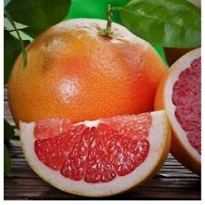 "RED GRAPEFRUIT FRUIT TREE LIVE PLANT RUBY PINK CITRUS 3""-6"" SEEDLING SAPLING"