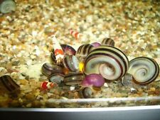 x3 Giant Columbian Ramshorn Snails Rare Aquarium Snails Clean Up Crew