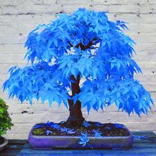 20× Beautiful Rare Blue Maple Seeds Bonsai Plants Garden Home Tree Decor Cheap
