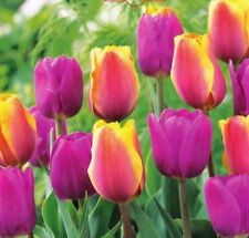 Triumph Tulpen Sommerbrise 79786 Blumenzwiebeln Großpackung