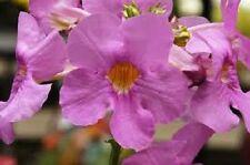 20+ INCARVILLEA  HARDY GLOXINIA  FLOWER SEEDS / ROSY/ PURPLE PERENNIAL