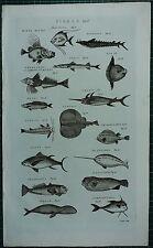 1786 PRINT ~ FISHES SWALLOW FISH TAMOATA TUNNY TORPEDO SEA UNICORN TRIANGULARIS