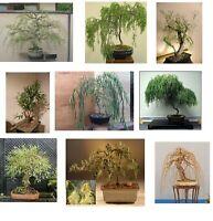Ultimate Willow Bonsai Bundle - 9 types of Willow Bonsai Material - Exotic, Rare
