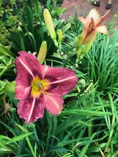 Daylily offsets assorted colours