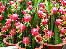 3 RED + 3 PURPLE + 9 inch  CUTTINGS DRAGON  FRUIT TREE PLANT (PITAHAYA)