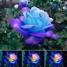 50stk blau rosa Rosen Samen Hausgarten Getopfte Rose Pflanzen Blumen Neu