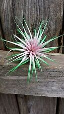 3 Tillandsia Ionantha~Spring Pink ~ Air Plant Colorized Bromeliad Event Party