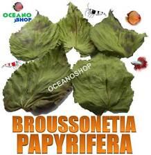 10 HOJAS de BROUSSONETIA PAPYRIFERA uso como almendro indio terminalia catappa