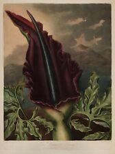 "Temple of Flora : ""The Dragon Arum"" (1807) — Giclee Fine Art Print"