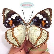5 unmounted butterfly nymphaliae mimathyma schrenckii  A1 A1-