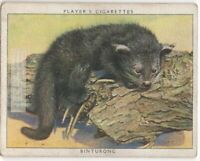 Binturong Bearcat South East Asia c80  Y/O Ad Trade Card