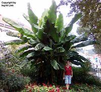 Sagenhaft ! Eine riesengroße, winterharte Bananen-Palme für Ihren Garten !