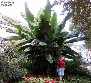 Garten Pflanzen Samen winterharte Zierpflanze Saatgut Palme RIESEN-BANANE (Auk)