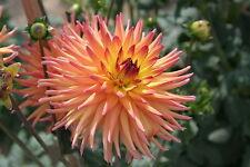 25 CACTUS DOUBLE DAHLIA MIX Variabilis Mixed Colors Hummingbird Flower Seeds