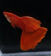 GUPPY FISH ALBINO FULL RED 1 PAIR (MALE+FEMALE)